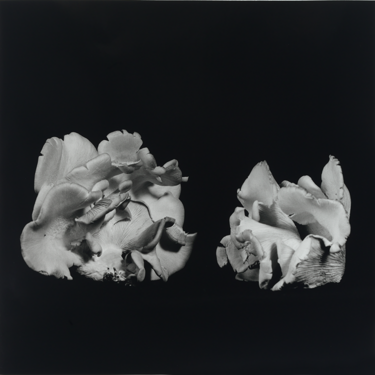 dejeuner. Dale M Reid Photography. Oyster Mushroom series. 2015.
