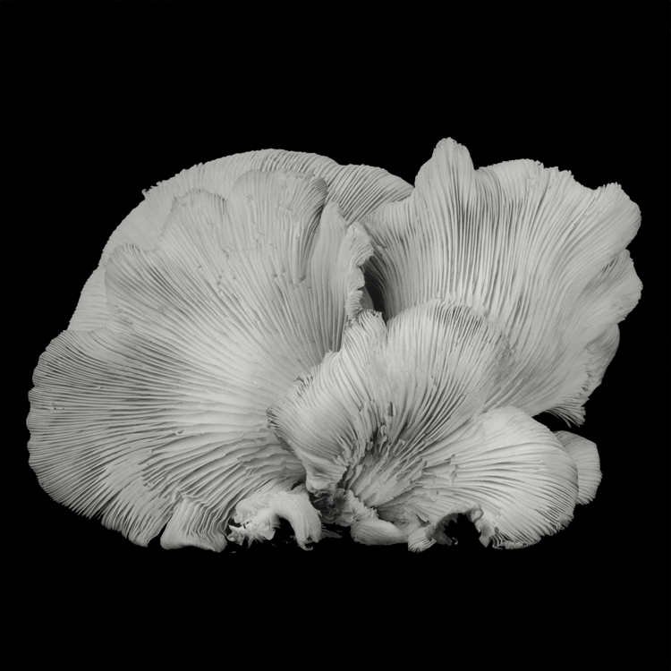 dejeuner. Dale M Reid Photography. Oyster Mushroom series. 2016.