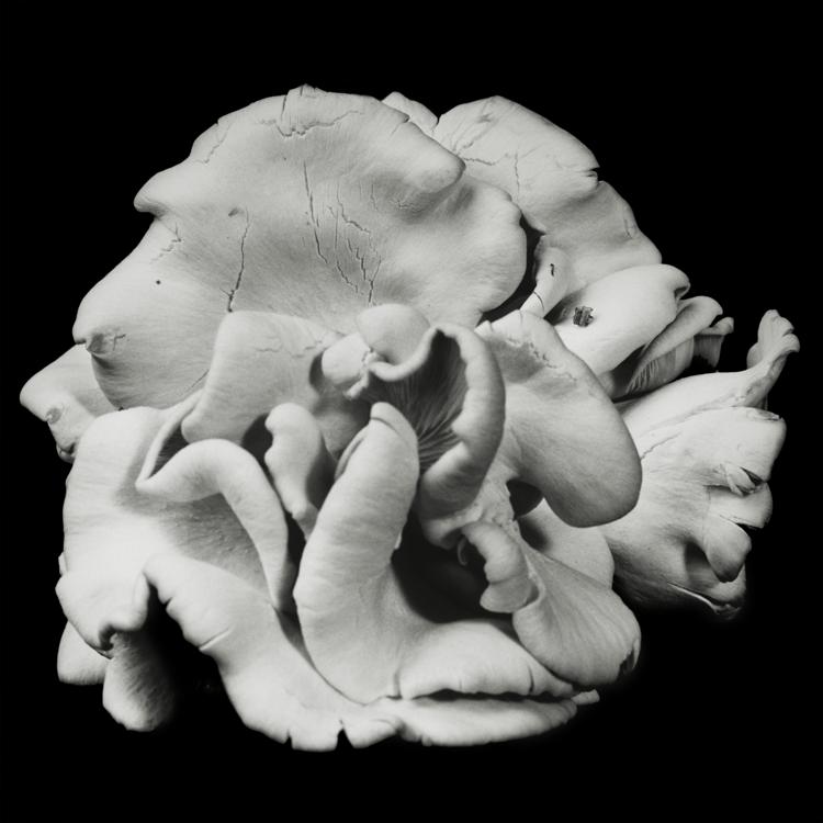 Dale M Reid. Fine Art Photography. Oyster Mushroom series. 2016.