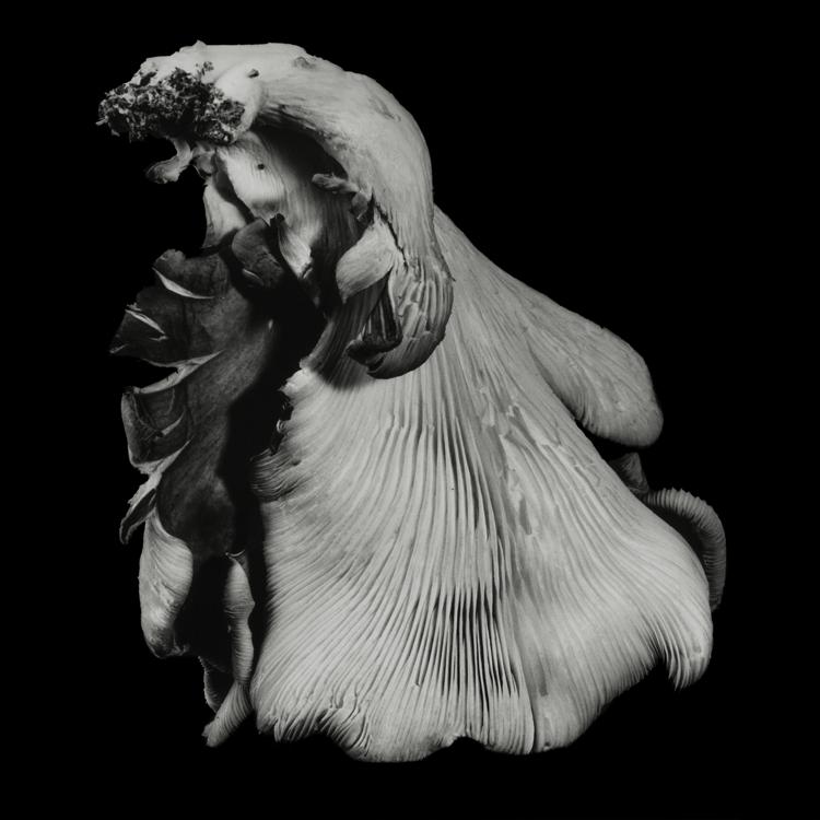 dejeuner. Dale M Reid. Fine Art Photography. Oyster Mushroom series. 2016.